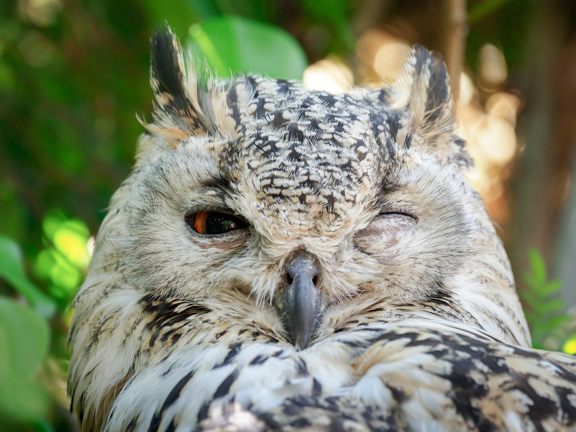 bengal-eagle-owl-3452925_1920